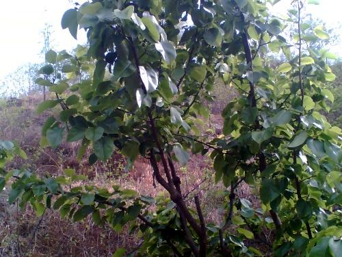 父亲还喜欢嫁接果树,什么酸枣树上嫁接红枣或是