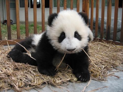 熊猫… 真的好可爱喔