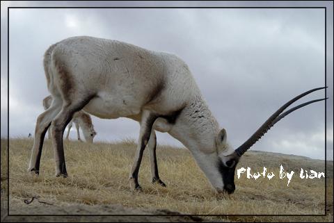 藏羚羊独家图片精彩呈现