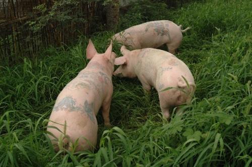 猪儿们也流行纹身!-阁子影像-搜狐博客