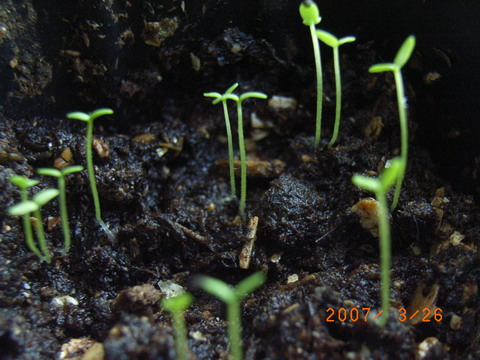 五色月播_4月13日 小苗的哥哥姐姐-2月冬播的苗苗紫罗兰色,和五色菊在一起