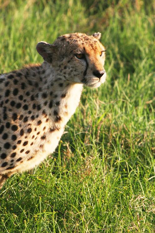 非洲动物的王者之一的