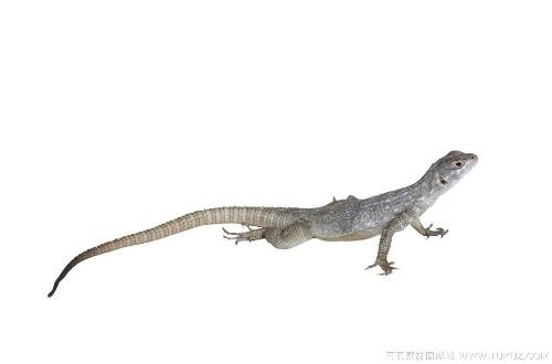 壁纸 动物 蜥 蜥蜴 500_330
