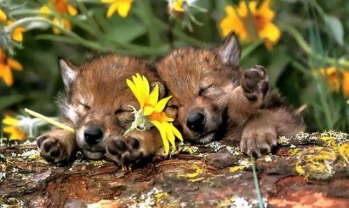 可爱的小狼崽