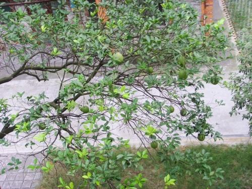 在北方还没见过结这么大个桔子的桔子树,都是用来观赏的小金桔树