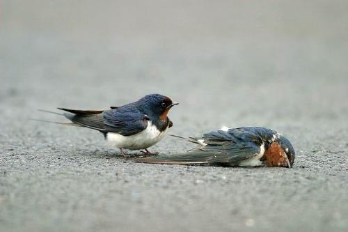 两只燕子的真实瞬间