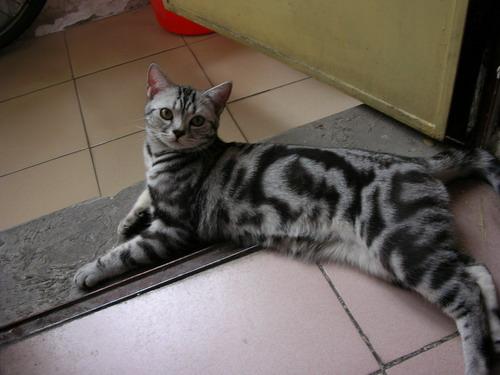 美短银虎斑 美短猫 英短银渐层